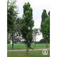 Koelreuteria paniculata 'Fastigiata' | Chinese vernisboom