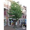 Boomkwekerij M. van den Oever Liquidambar styraciflua 'Worplesdon' | Amberboom