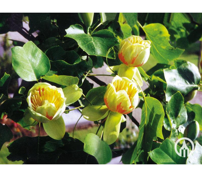 Liriodendron tulipifera | Amerikaanse tulpenboom