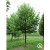 Boomkwekerij M. van den Oever Magnolia acuminata | Komkommerboom