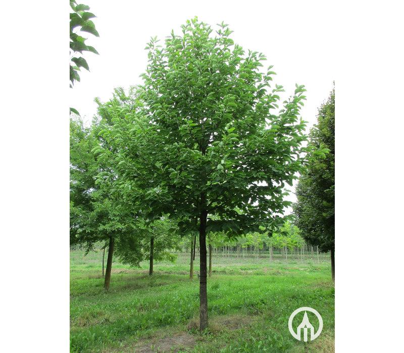Magnolia acuminata | Komkommerboom