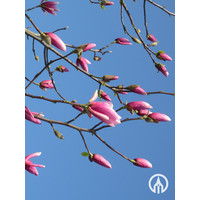 Magnolia 'Galaxy' | Beverboom