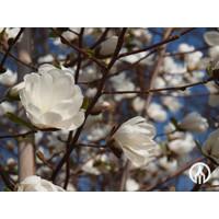 Magnolia kobus | Beverboom