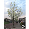 Boomkwekerij M. van den Oever Magnolia kobus | Beverboom