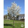 Boomkwekerij M. van den Oever Magnolia loebnerii 'Merrill' | Beverboom