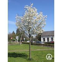 Magnolia loebnerii 'Merrill' | Beverboom