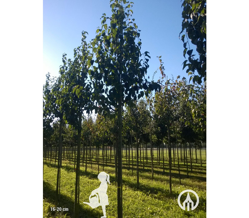Malus baccata 'Street Parade' | Sierappel
