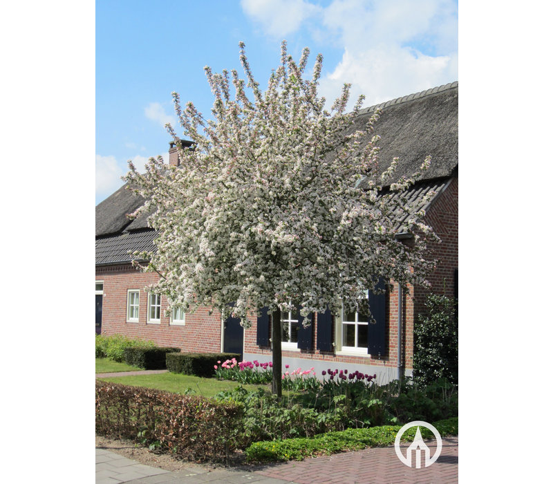 Malus 'Evereste' | Sierappel