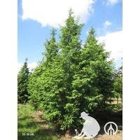 Metasequoia glyptostroboides | Watercipres