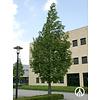 Boomkwekerij M. van den Oever Metasequoia glyptostroboides | Watercipres