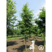 Nyssa sylvatica | Zwarte tupeloboom