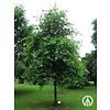 Boomkwekerij M. van den Oever Nyssa sylvatica | Zwarte tupeloboom