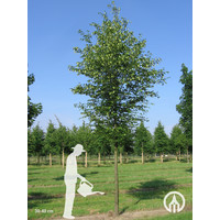 Ostrya carpinifolia | Europese Hopbeuk
