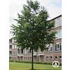Boomkwekerij M. van den Oever Ostrya carpinifolia | Europese Hopbeuk