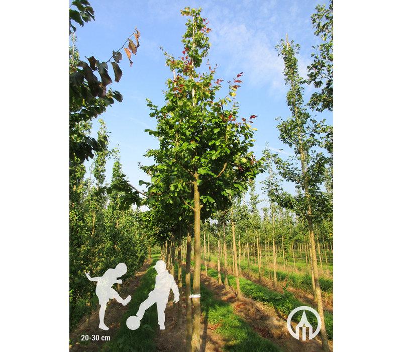 Parrotia persica 'Vanessa' | Perzisch jizerhout