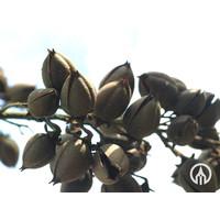 Paulownia tomentosa | Anna Paulowna boom