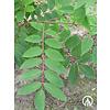 Boomkwekerij M. van den Oever Phellodendron amurense   Amur kurkboom