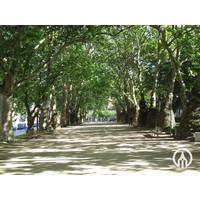 Platanus hispanica | Gewone plataan