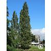 Boomkwekerij M. van den Oever Populus nigra 'Italica' | Italiaanse populier