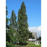 Populus nigra 'Italica' | Italiaanse populier