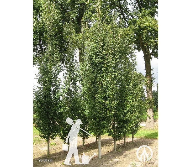 Populus tremula 'Erecta' | Ratelpopulier