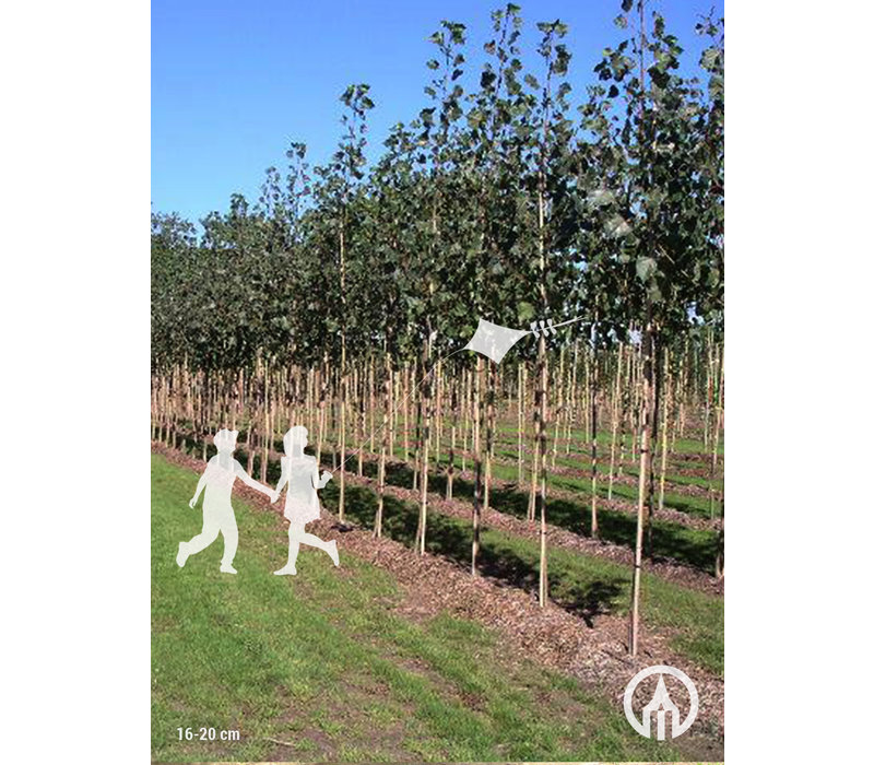 Populus x canadensis 'Koster' | Populier