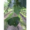 Boomkwekerij M. van den Oever Populus x canadensis 'Koster' | Populier