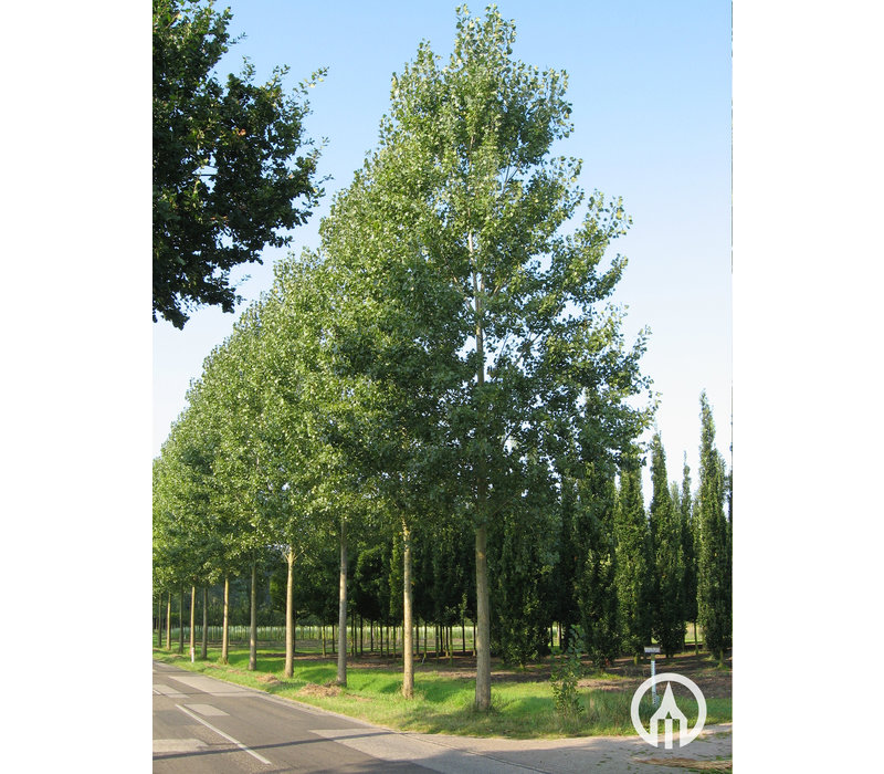Populus x canadensis 'Robusta' | Canadese populier