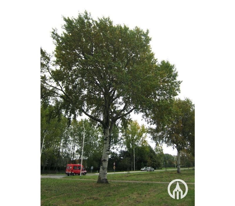 Populus x canescens 'de Moffart' | Grauwe abeel