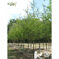 Prunus 'Accolade' | Japanse sierkers
