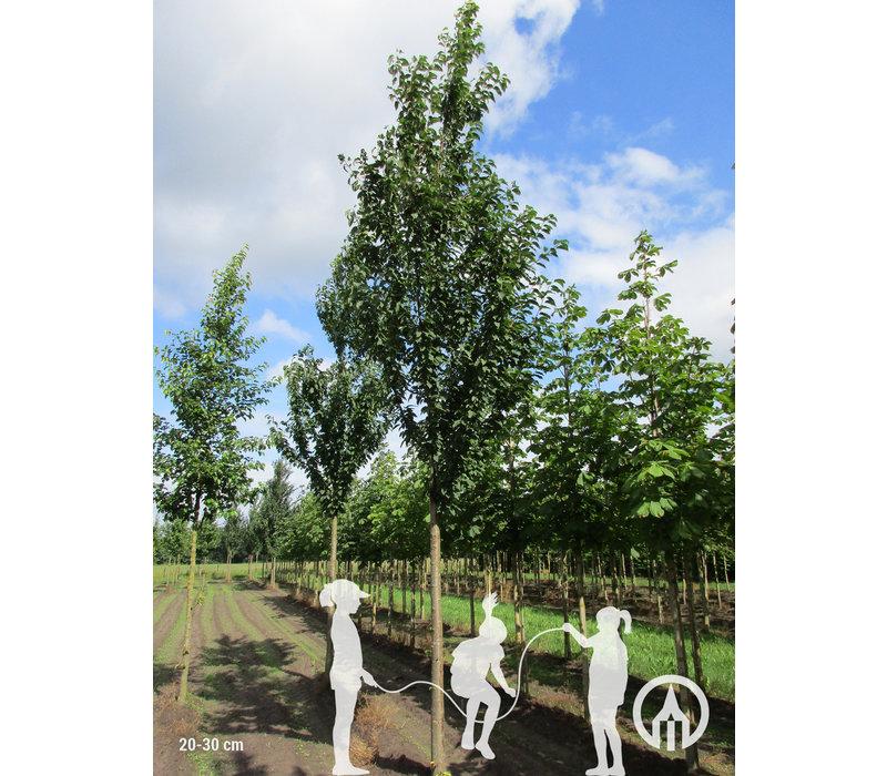 Prunus avium 'Landscape Bloom'| Zoete kers