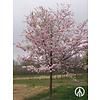 Boomkwekerij M. van den Oever Prunus 'Accolade' | Japanse sierkers