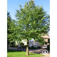 Prunus avium 'Plena' | Dubbele Sierkers