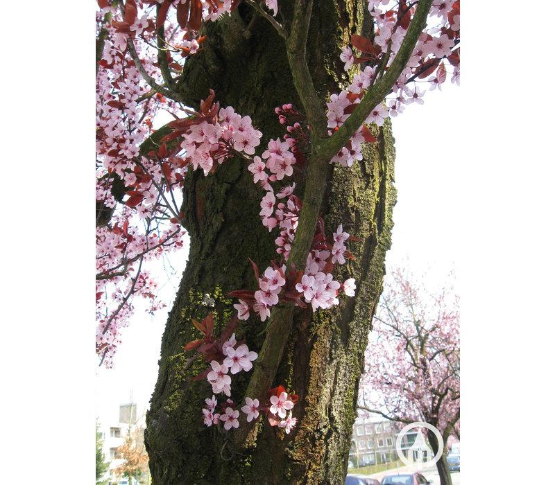 Prunus cerasifera 'Nigra' | Kerspruim