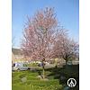 Boomkwekerij M. van den Oever Prunus cerasifera 'Nigra' | Kerspruim