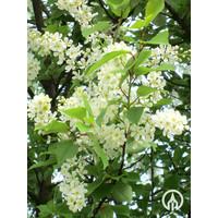 Prunus padus   Gewone vogelkers