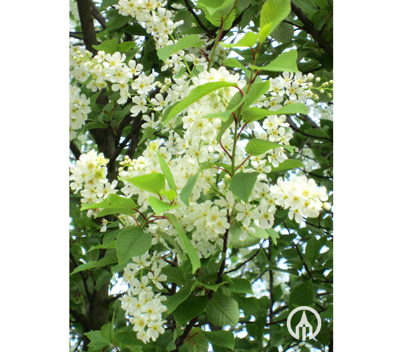 Prunus padus | Gewone vogelkers