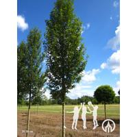 Prunus padus 'Tiefurt' | Gewone vogelkers