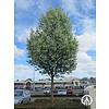 Boomkwekerij M. van den Oever Prunus padus 'Tiefurt' | Gewone vogelkers