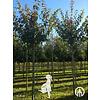 Boomkwekerij M. van den Oever Prunus sargentii 'Charles Sargent' | Sierkers