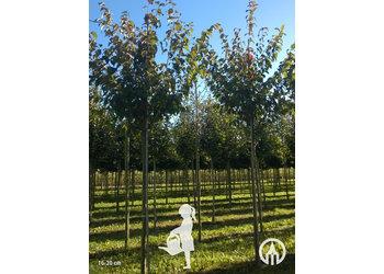 Boomkwekerij M. van den Oever Prunus Sargentii 'Charles Sargent'