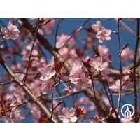Prunus sargentii 'Charles Sargent' | Sierkers