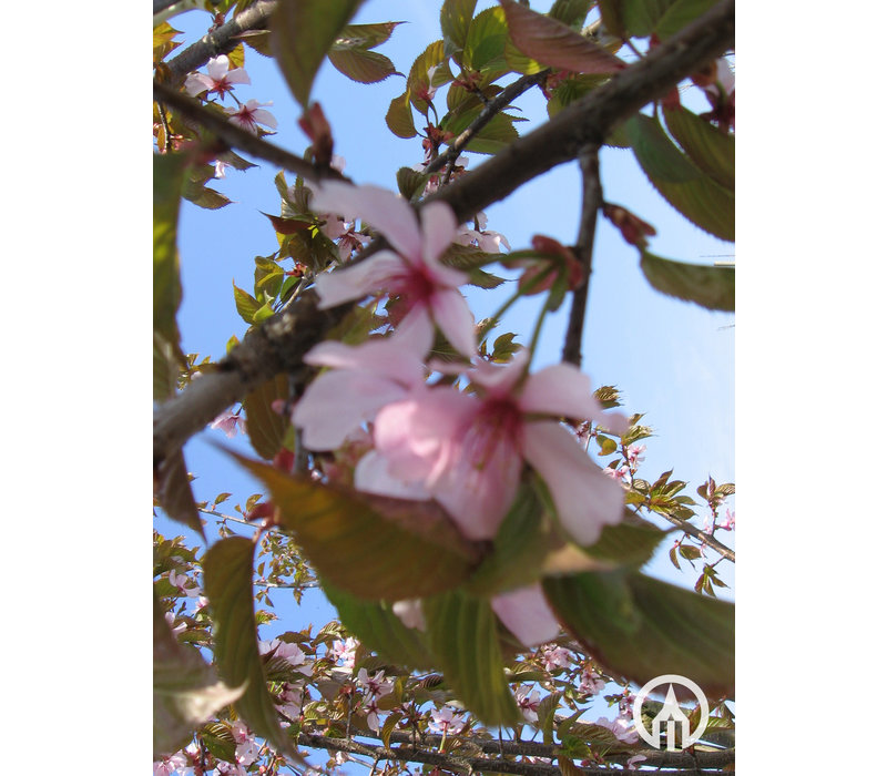 Prunus sargentii ´Rancho´ | Japanse sierkers