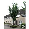 Boomkwekerij M. van den Oever Prunus sargentii ´Rancho´ | Japanse sierkers
