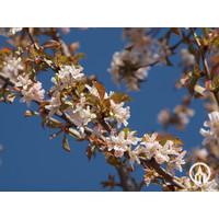 Prunus x schmittii  | Sierkers