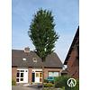 Boomkwekerij M. van den Oever Prunus x schmittii  | Sierkers