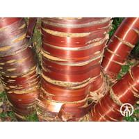 Prunus serrula | Sierkers