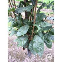 Prunus serrulata 'Amanogawa' | Japanse sierkers