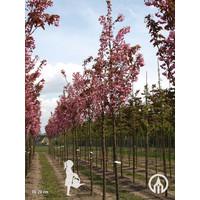 Prunus serrulata 'Kanzan' | Japanse sierkers