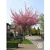 Boomkwekerij M. van den Oever Prunus serrulata 'Kanzan' | Japanse sierkers